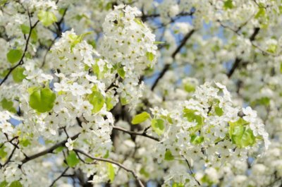 Whats So Bad About The Bradford Pear Tree Richmond Tree Stewards